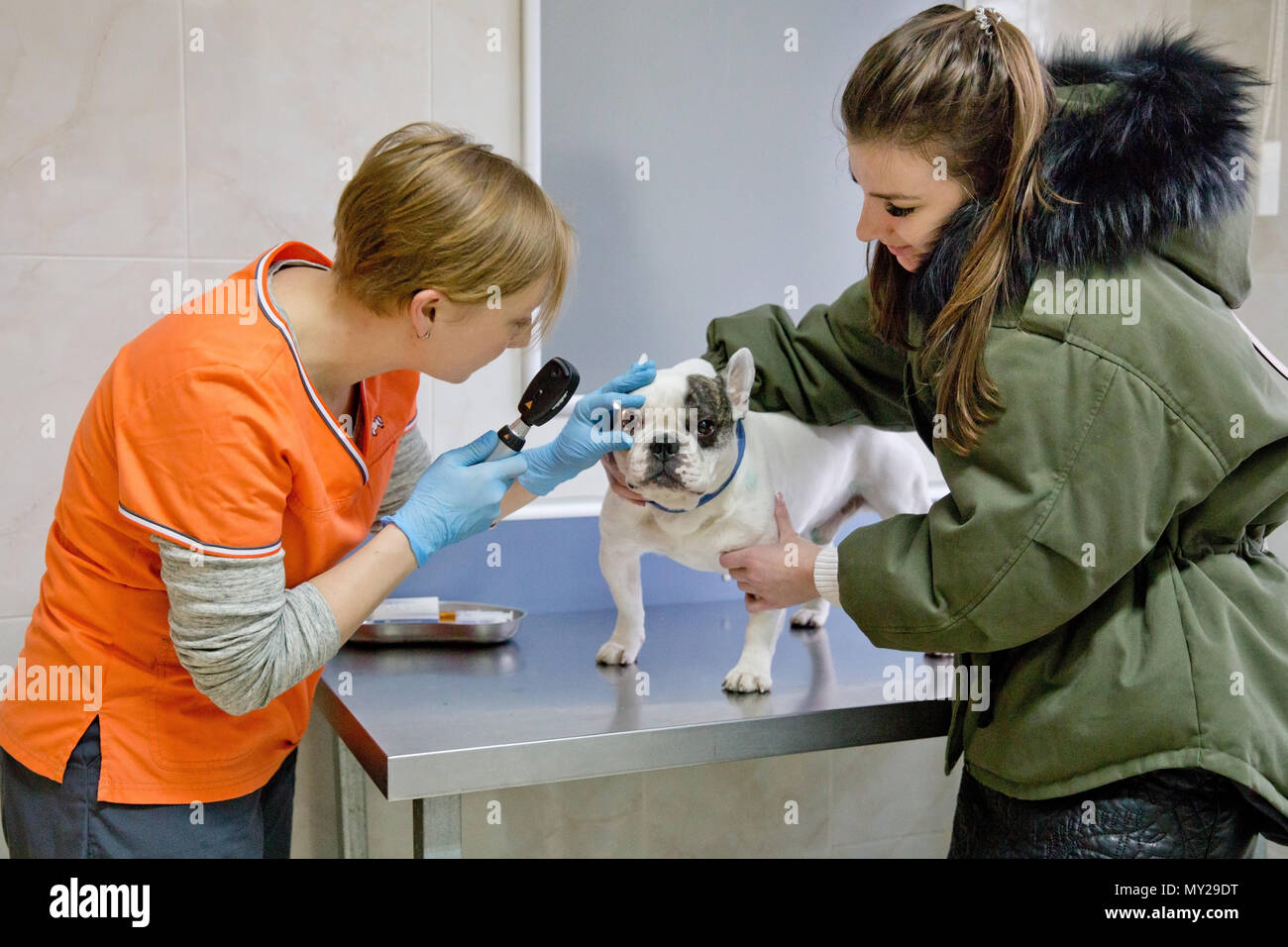 Veterinarian checks the eyes of a dog, biomicroscopy. Veterinarian ophthalmologist doing medical procedure, examining the eyes of a dog in a veterinary clinic. Healthy dog under medical exam. - Stock Image