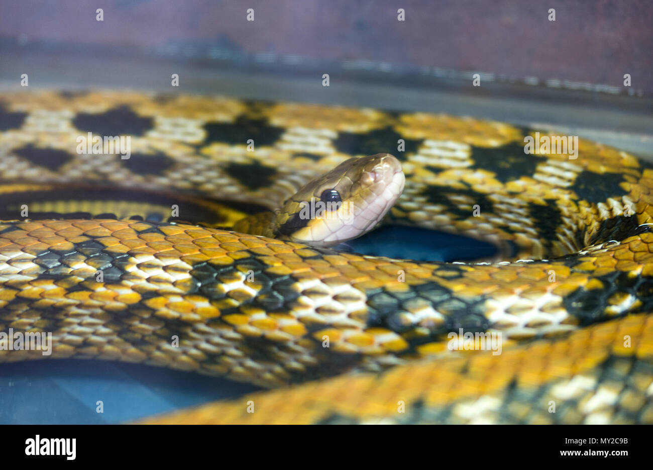 Young Yellow Python Resting In The Terrarium With Water Stock Photo