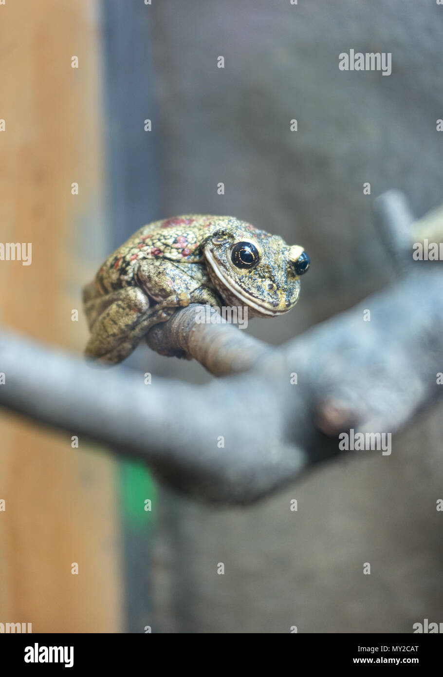 Beautiful tree frog sitting on a branch - Stock Image