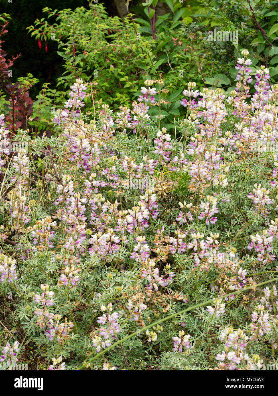 Silvery Foliage And Spikes Of Redwhite And Purple Flowers Of The