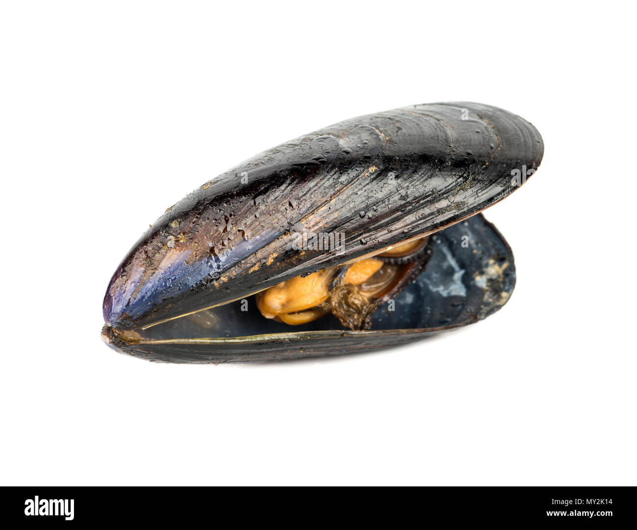 Cooked mussels in a black shell isolated on white background - Stock Image
