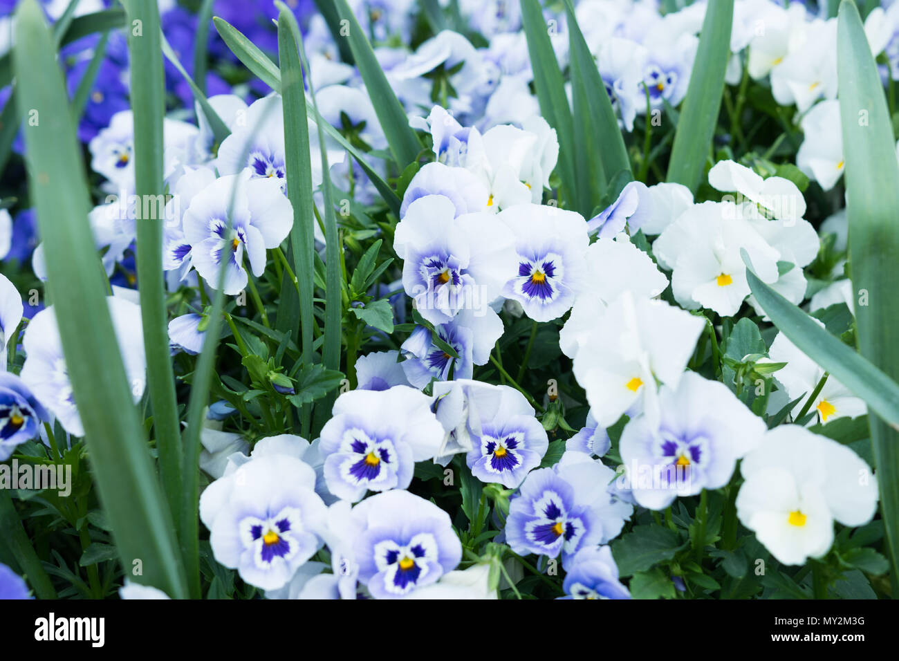 Closeup Of Small Purple And White Flowers Stock Photo 188759076 Alamy