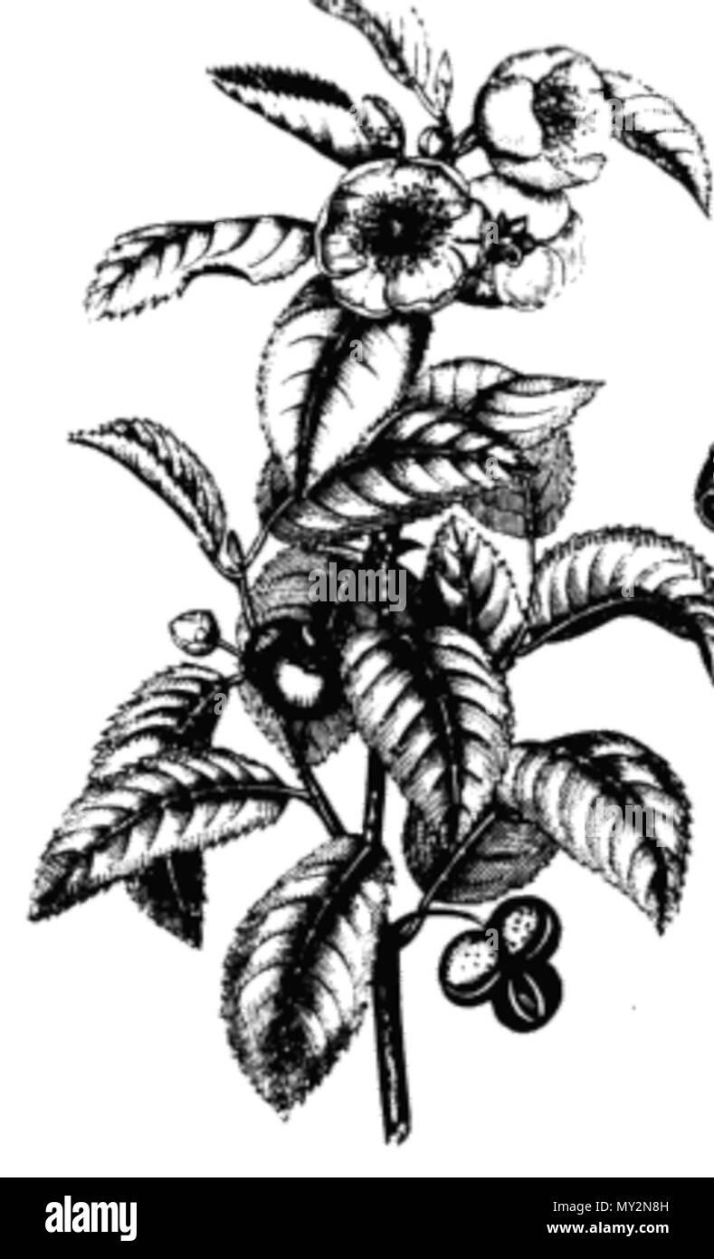515 Tea Plant Drawing