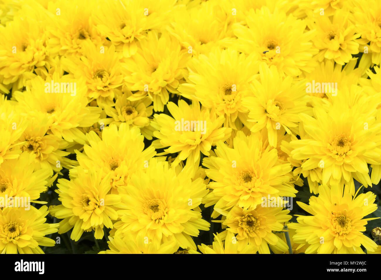 Yellow Chrysanthemums Daisy Flower Background Yellow Bloom Flowers