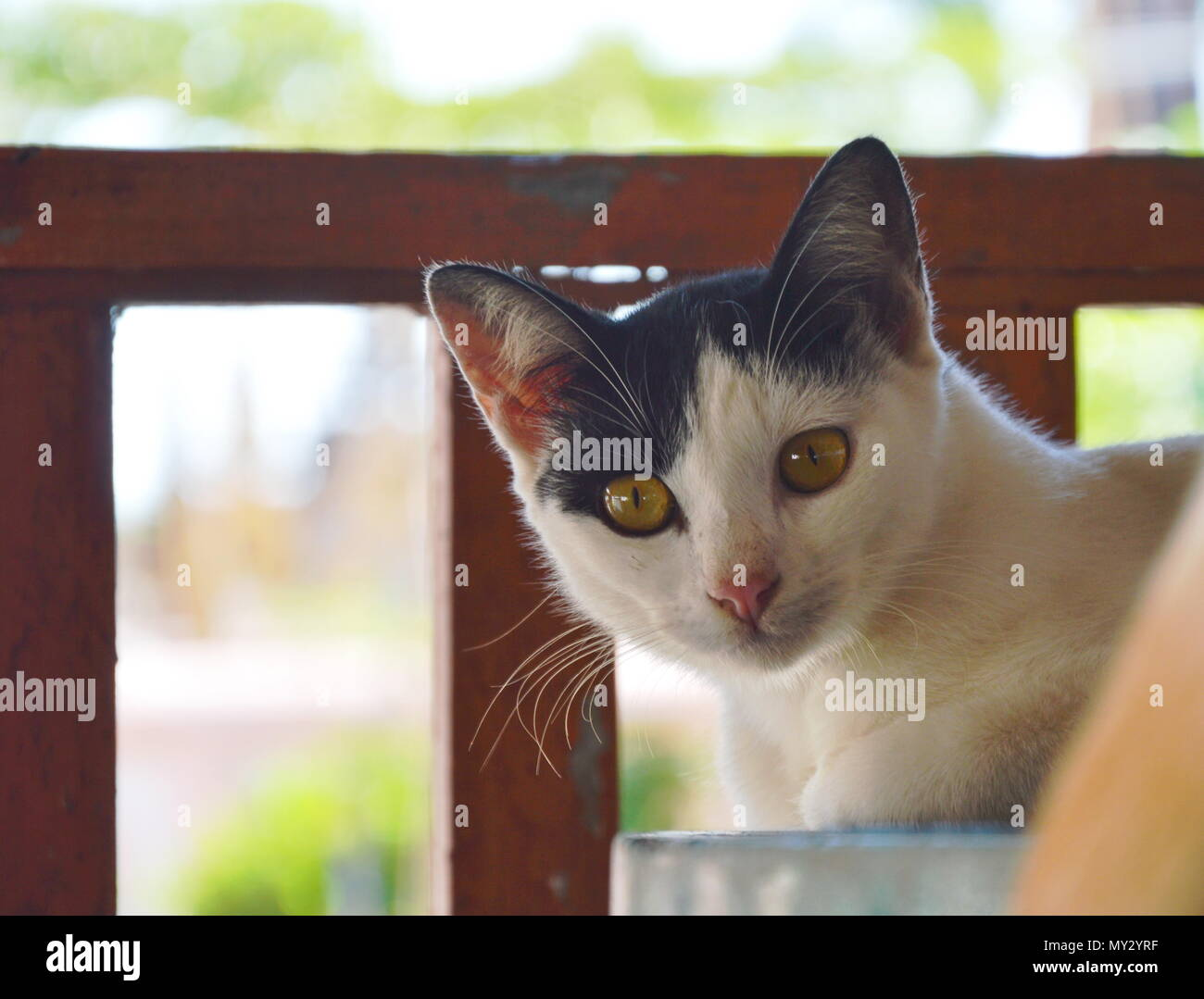 black and white cat on the table - Stock Image