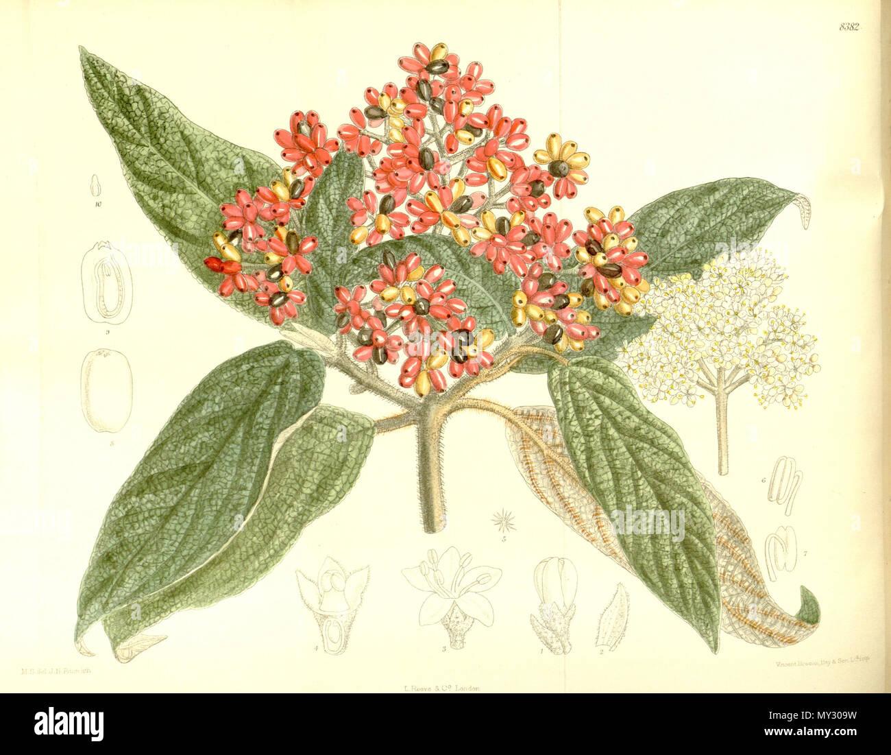 . Viburnum rhytidophyllum, Adoxaceae . 1911. M.S. del., J.N.Fitch lith. 549 Viburnum rhytidophyllum 137-8382 - Stock Image