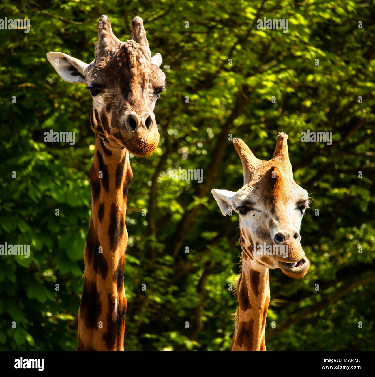 Image of two Giraffe's, Taken at Paignton Zoo 2018 - Stock Image