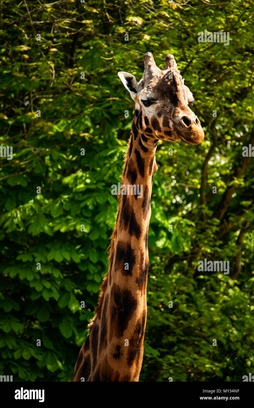 Single Giraffe standing tall at Paignton Zoo in Devon, UK. - Stock Image