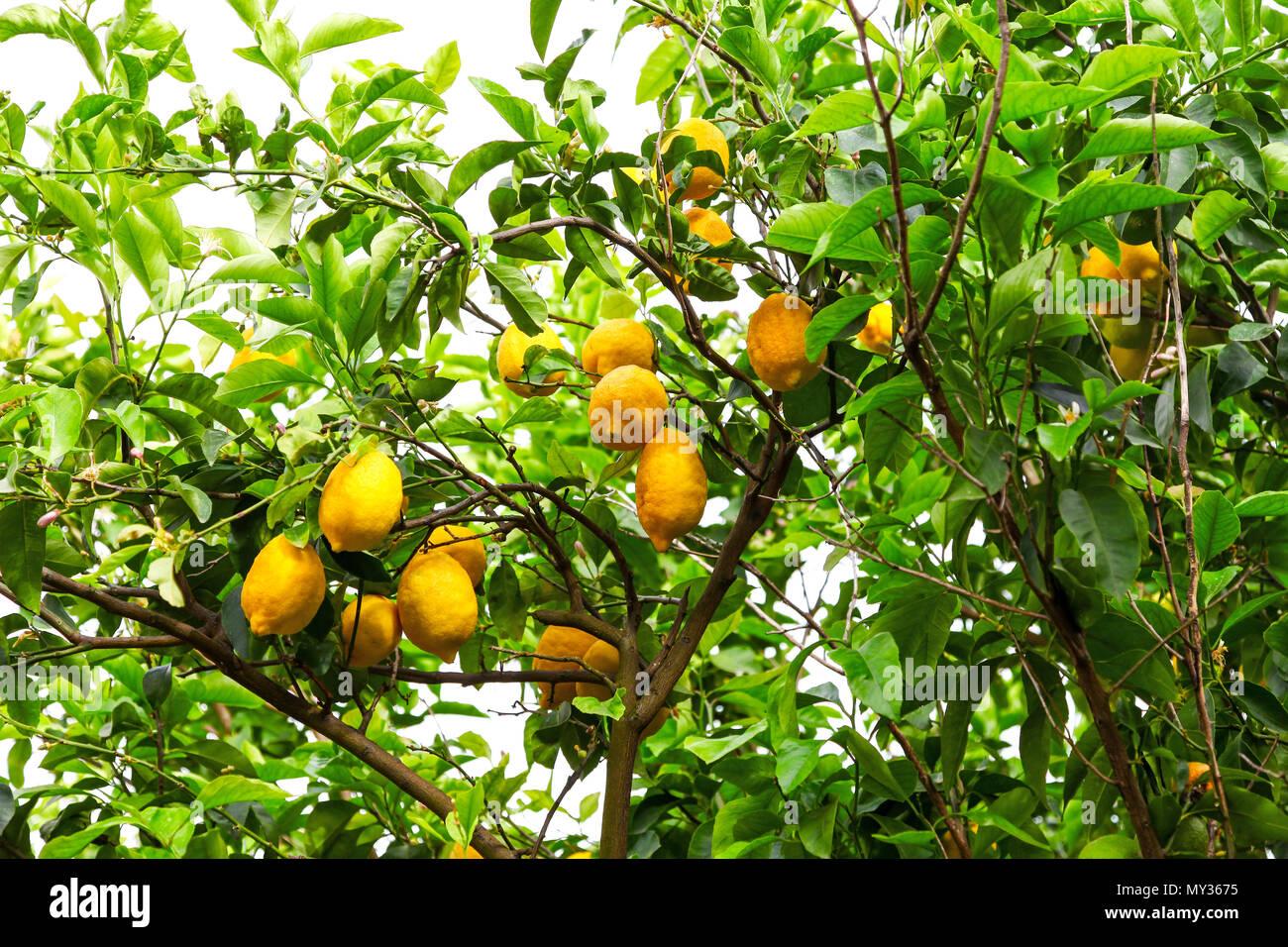 Ripe Lemons on a tree in Sorrento, Italy - Stock Image