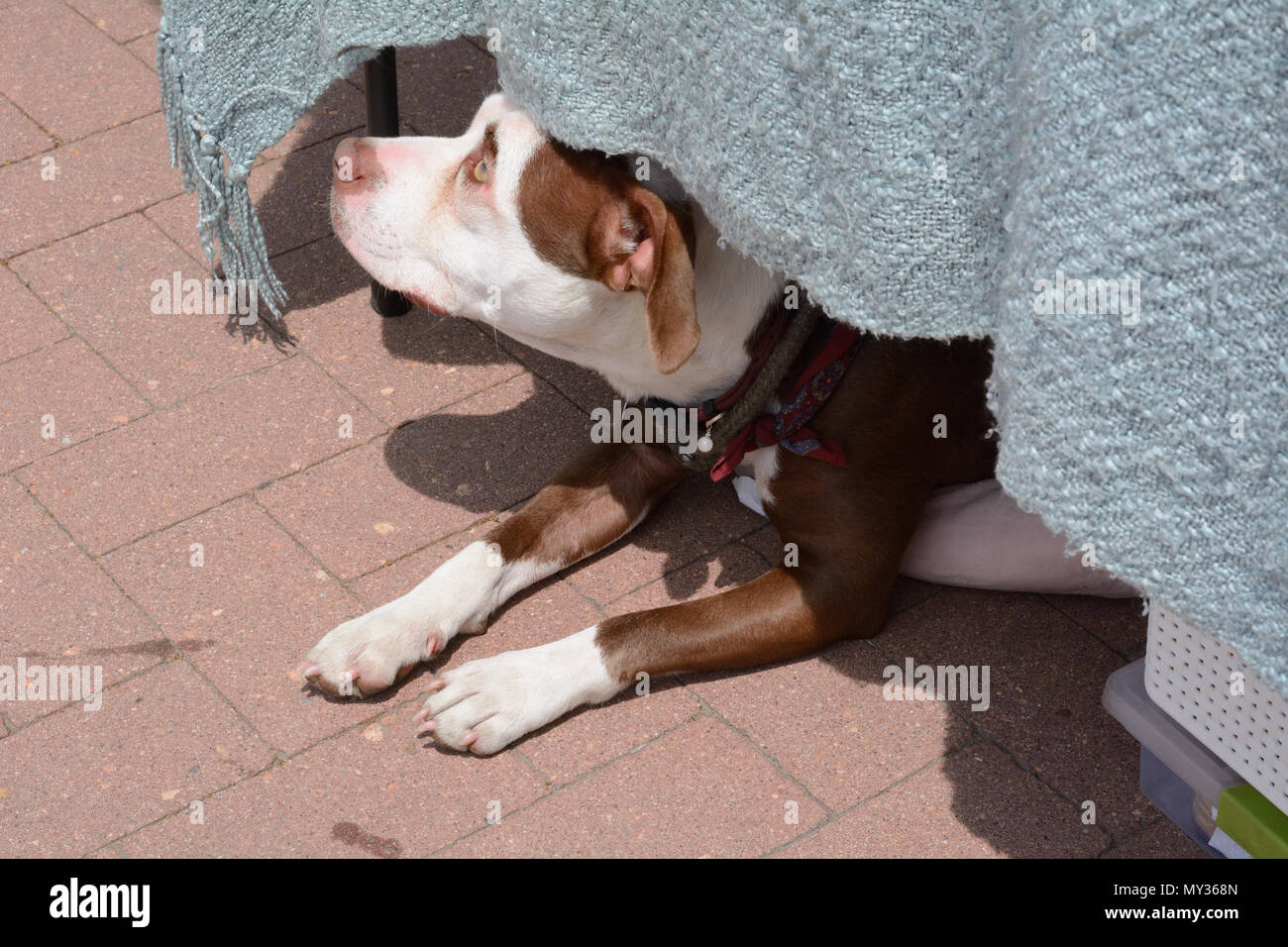 Dog staying cool from summer heat by sitting under table and in shade while peering out at the world - Stock Image