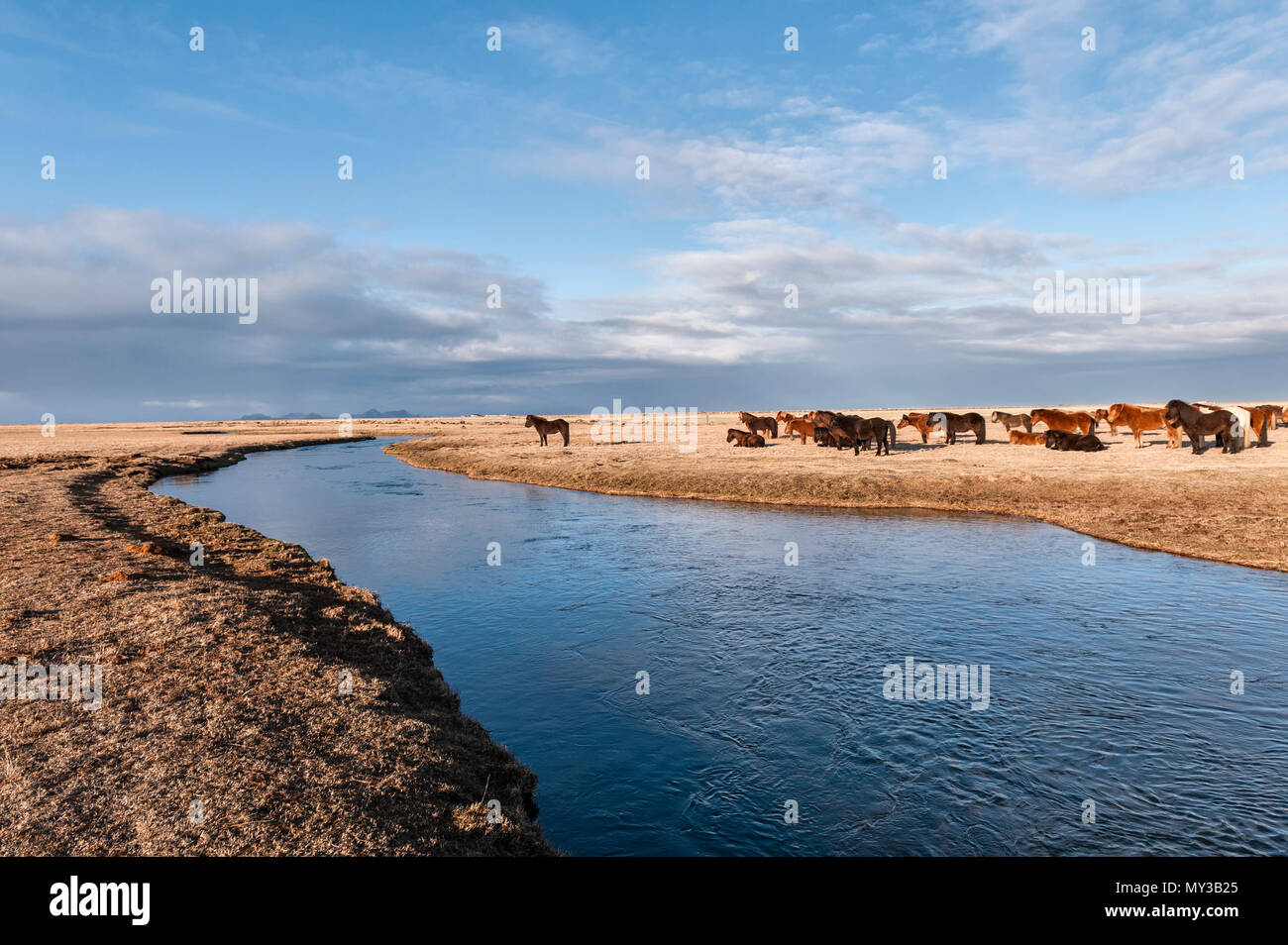 South Iceland. A herd of Icelandic horses by the Holtsá river, just south of  Eyjafjallajökull, seen in the early morning from the Ring Road - Stock Image
