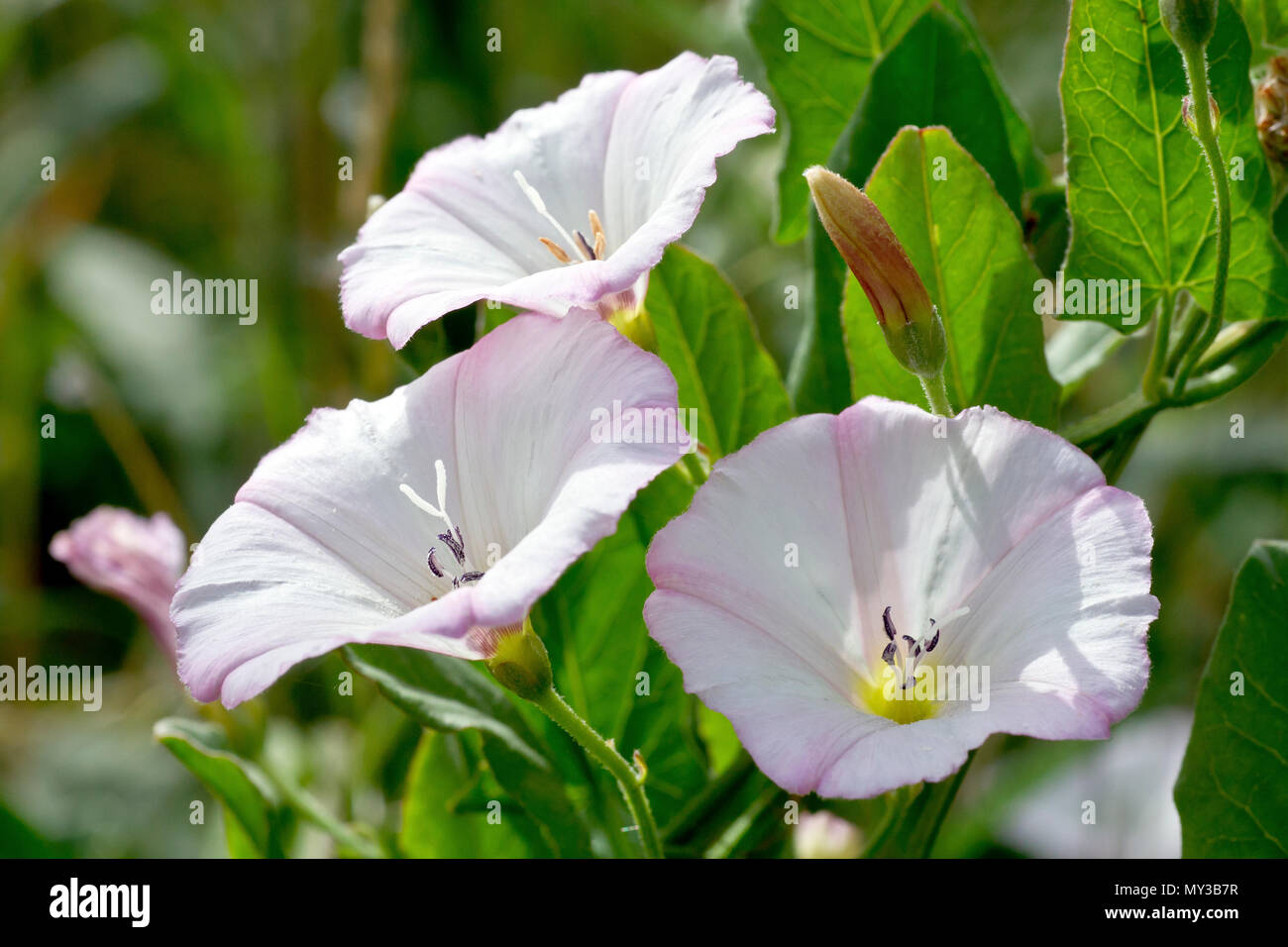 Field Bindweed (convolvulus arvensis), close up of a group of back-lit flowers. - Stock Image
