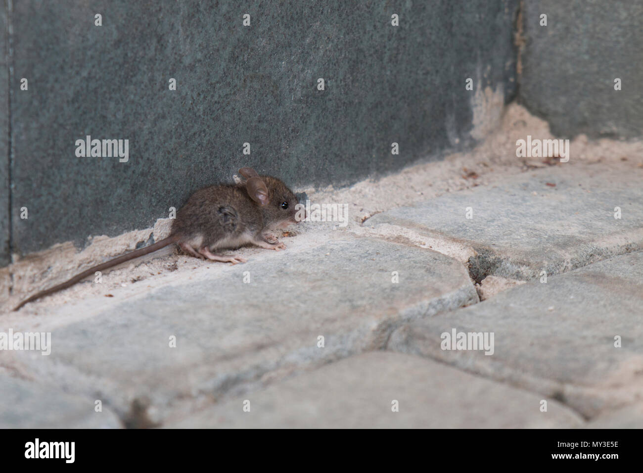 Small Mouse standing on paving stone - Stock Image
