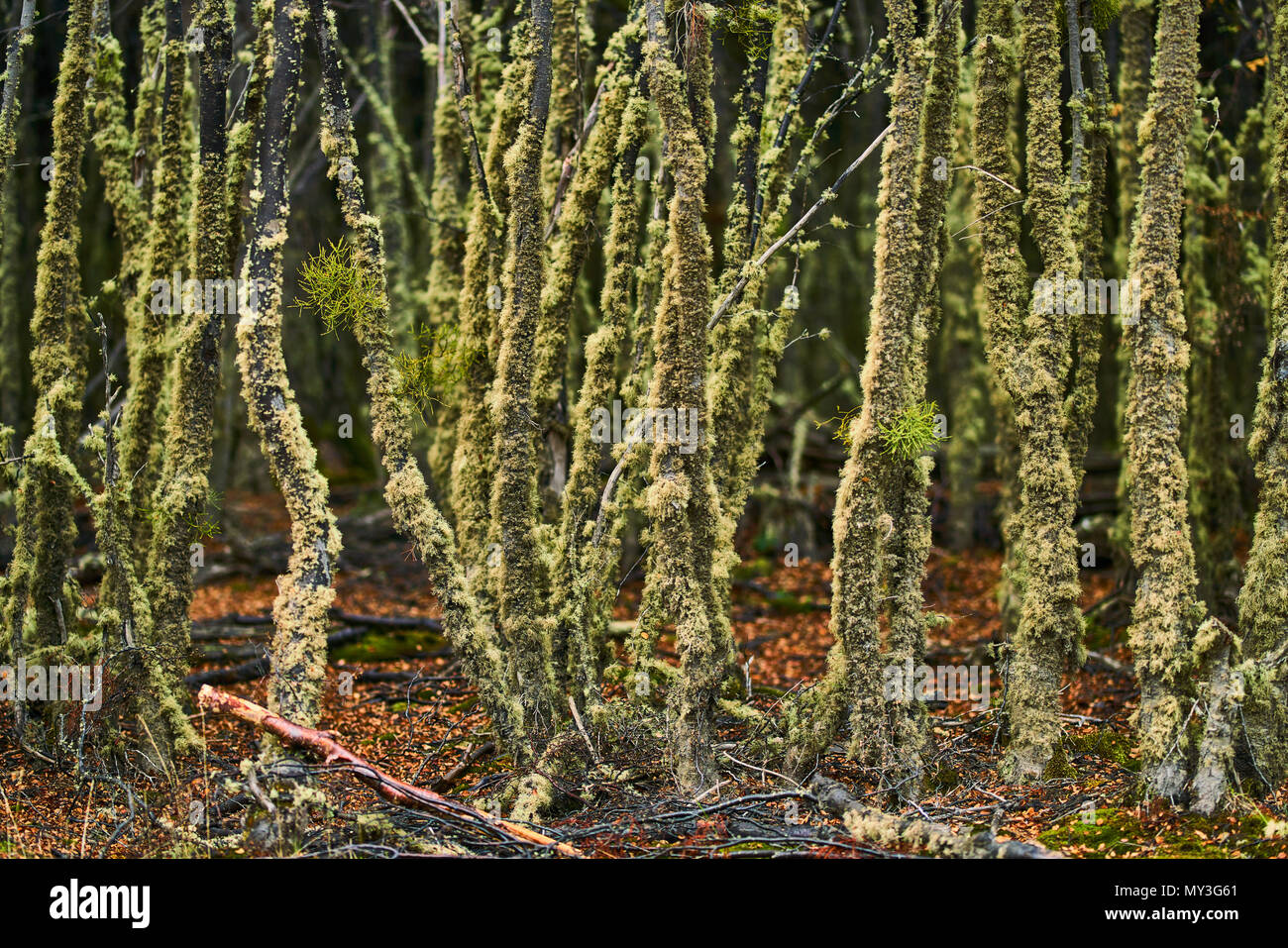 Broken trees and broken branches on the site of beaver dams in the Tierra del Fuego National Park. Argentine Patagonia in Autumn Stock Photo