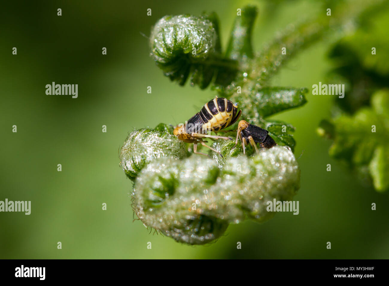 UK wildlife: Planthoppers (Male (R) and female (L) Ditropis pteridis) in apparent courtship - Stock Image