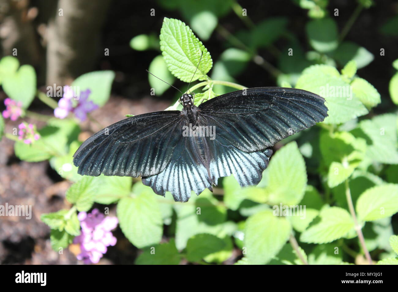 Beautiful blue and black Pipevine Swallowtail (Battus philenor), a lepidoptera native to North America; larvae feed on plants of genus Aristolochia. Stock Photo