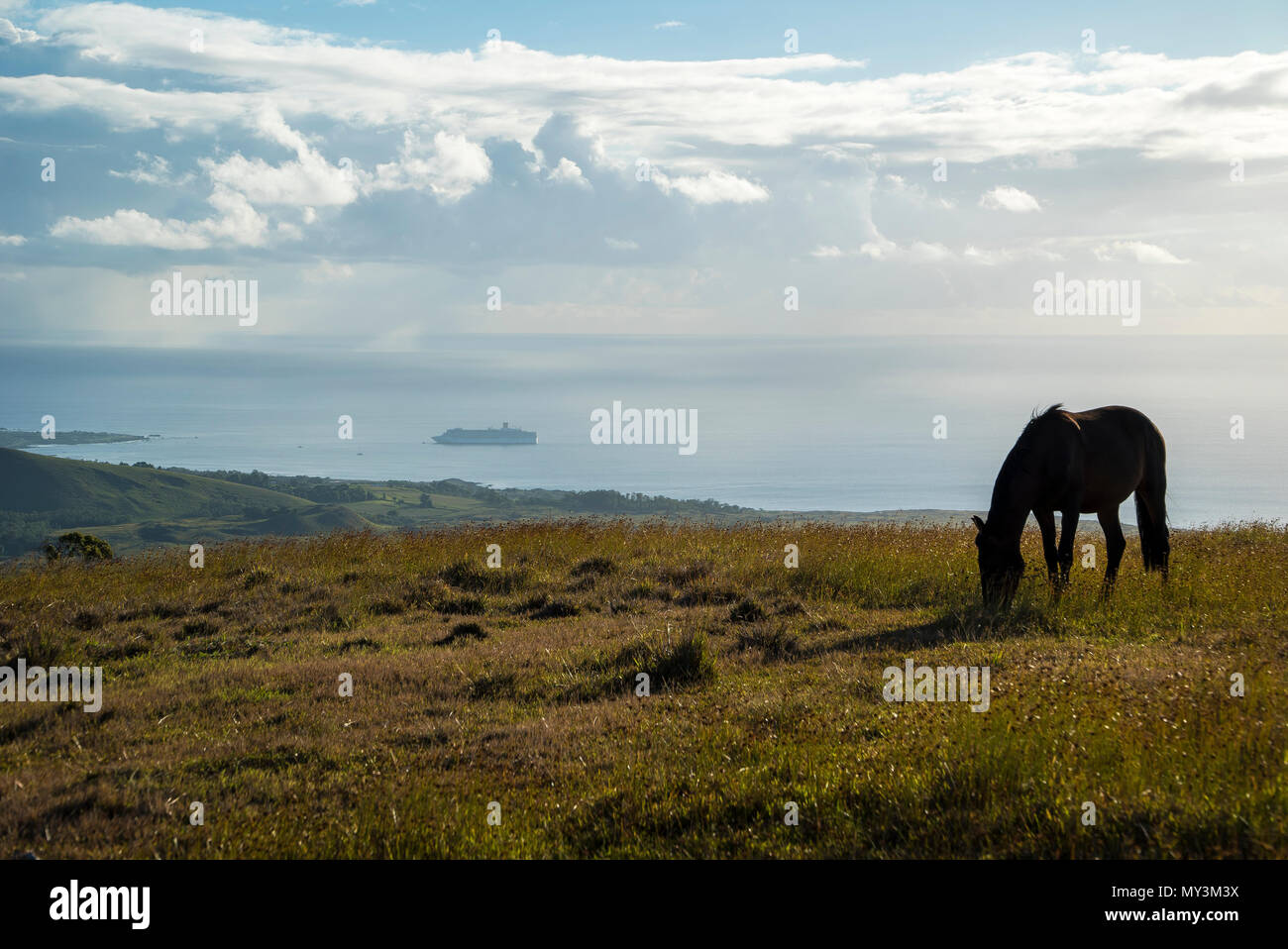 Horses in Easter Island walking free and eating - Stock Image