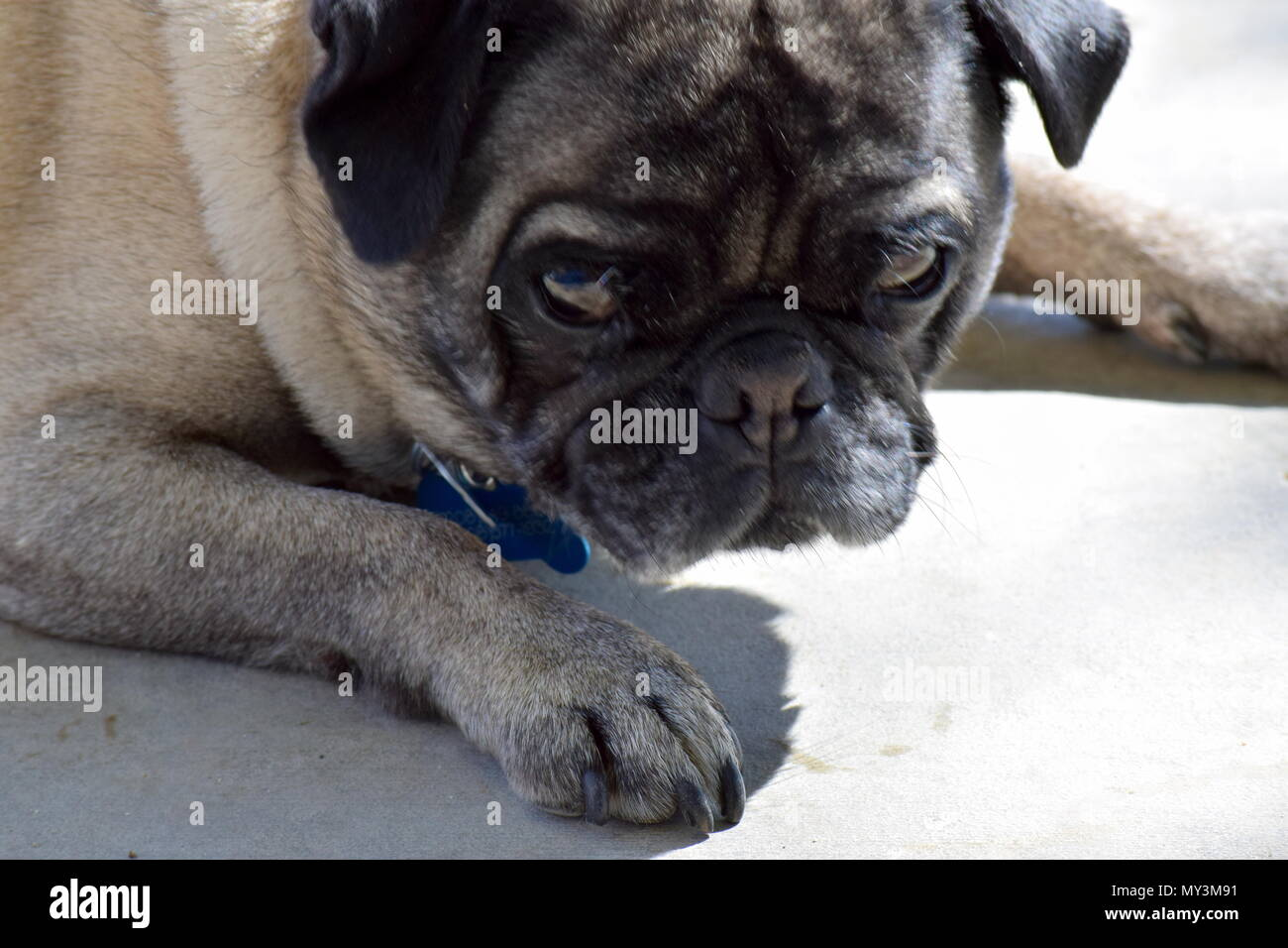 Pug with attitude - Stock Image