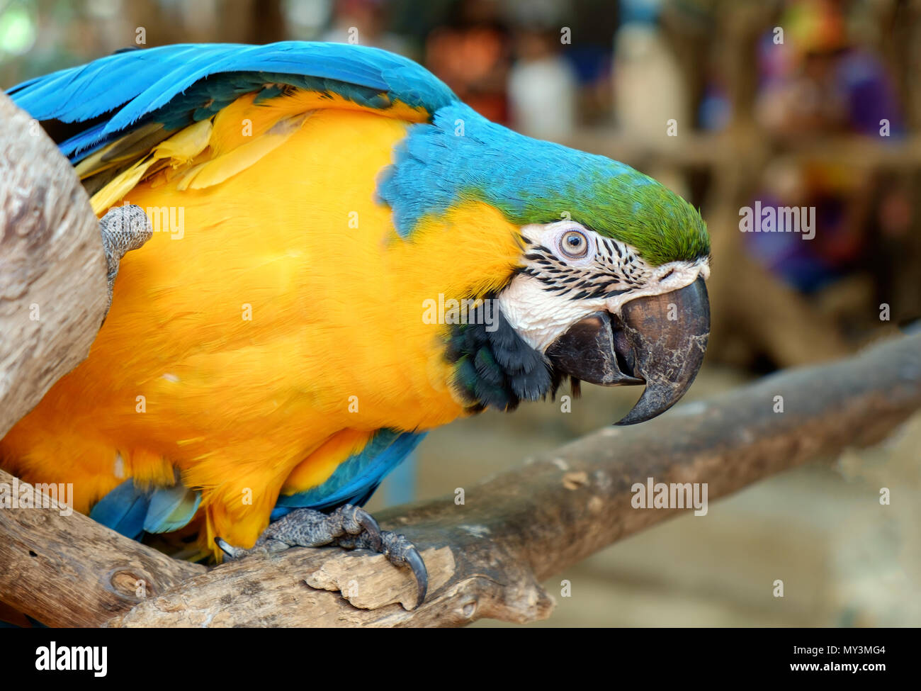 View of colorful macaw parrot. Stock Photo