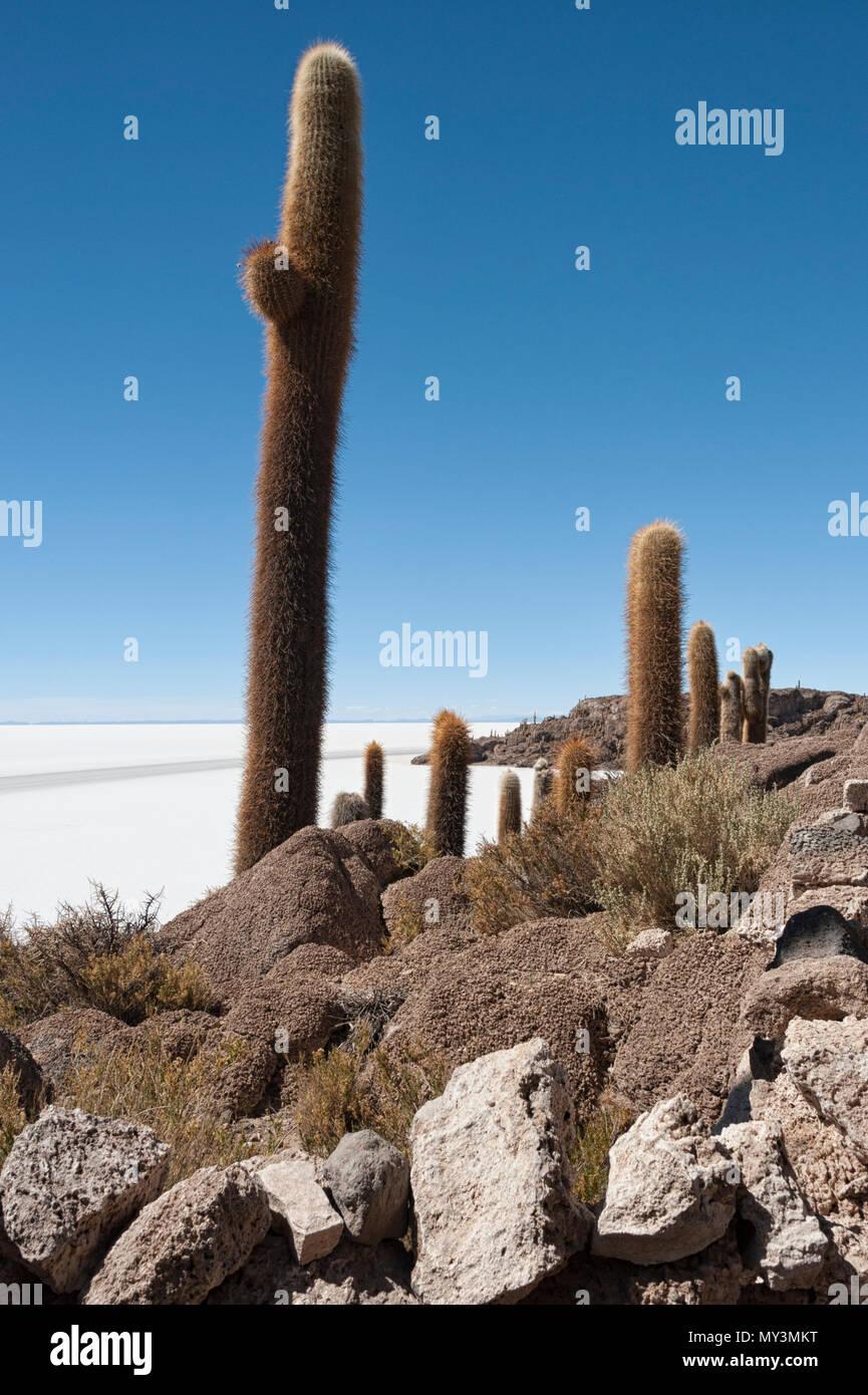 Trichoreceus Cactus on Isla Incahuasi (Isla del Pescado-Fish Island) in the middle of the world's biggest salt plain Salar de Uyuni, Bolivia Stock Photo