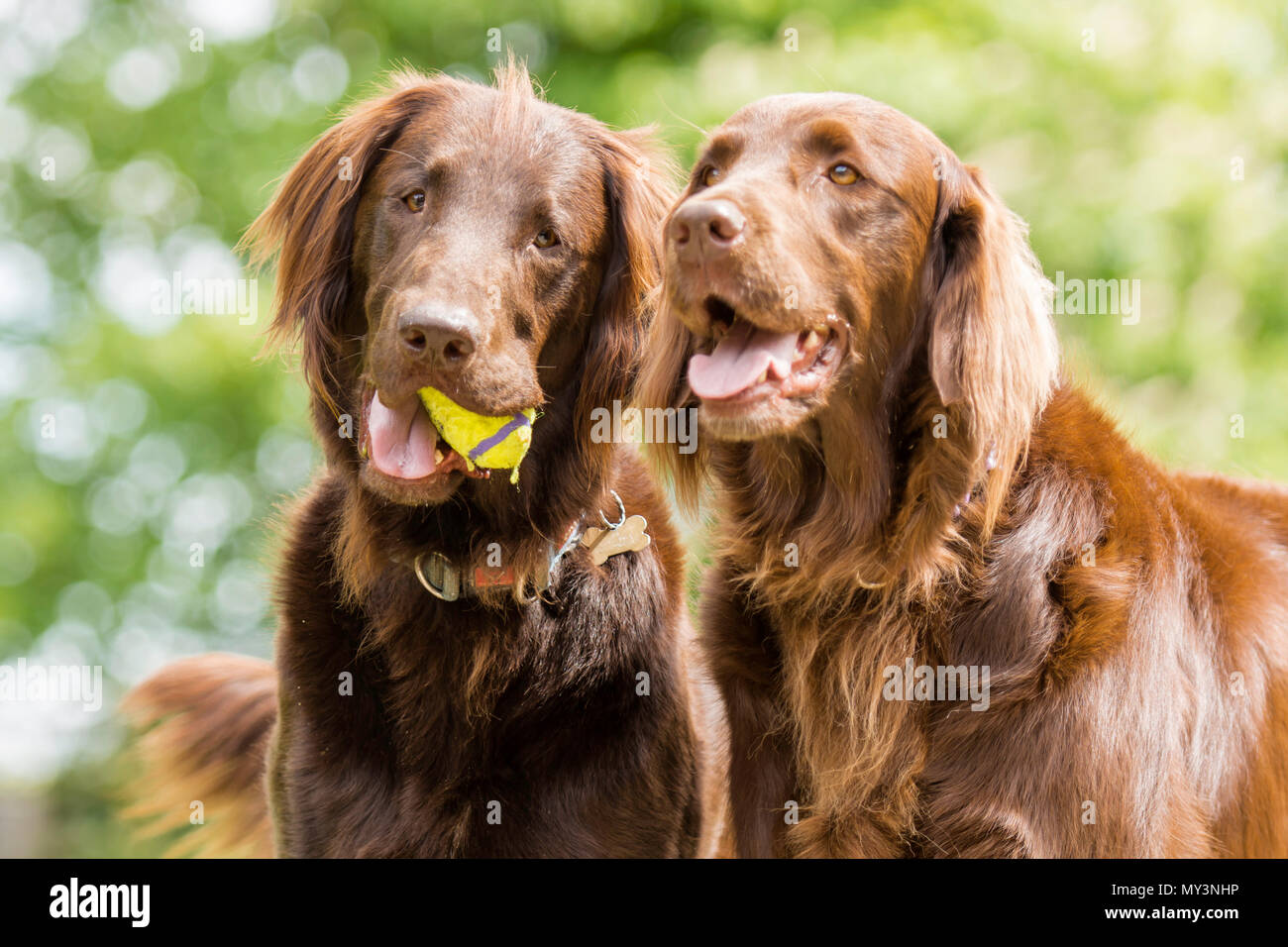 a pair of chocolate flat coat retriever dogs - Stock Image