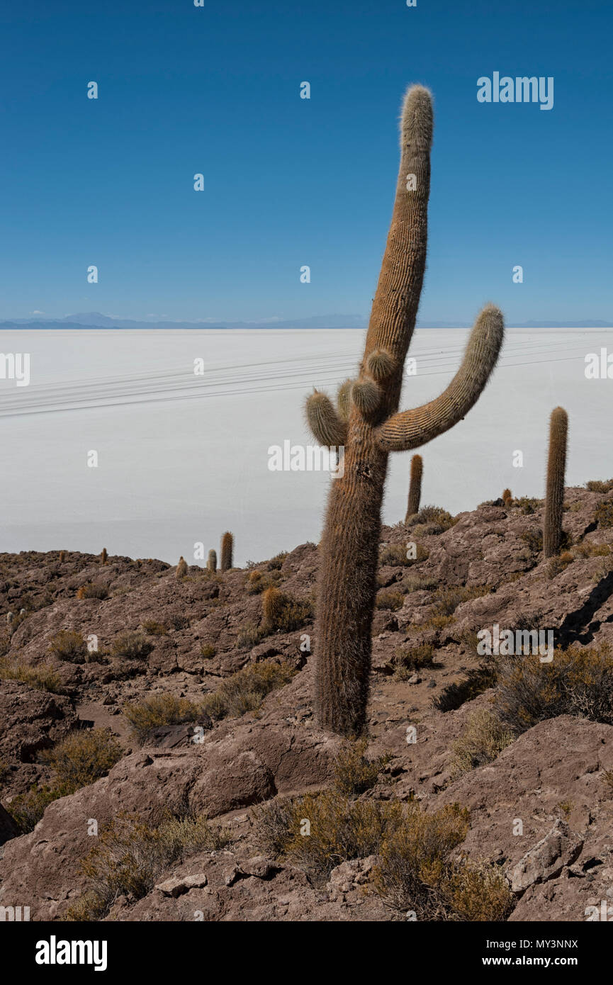 Trichoreceus Cactus on Isla Incahuasi (Isla del Pescado-Fish Island) in the middle of the world's biggest salt plain Salar de Uyuni, Bolivia Stock Photo