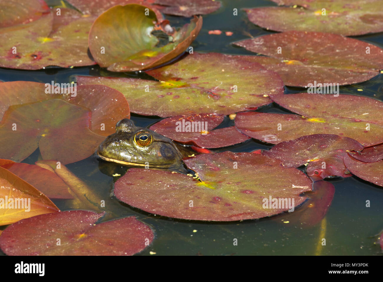 Frog in lily pads, Oregon Garden, Silverton, Oregon - Stock Image