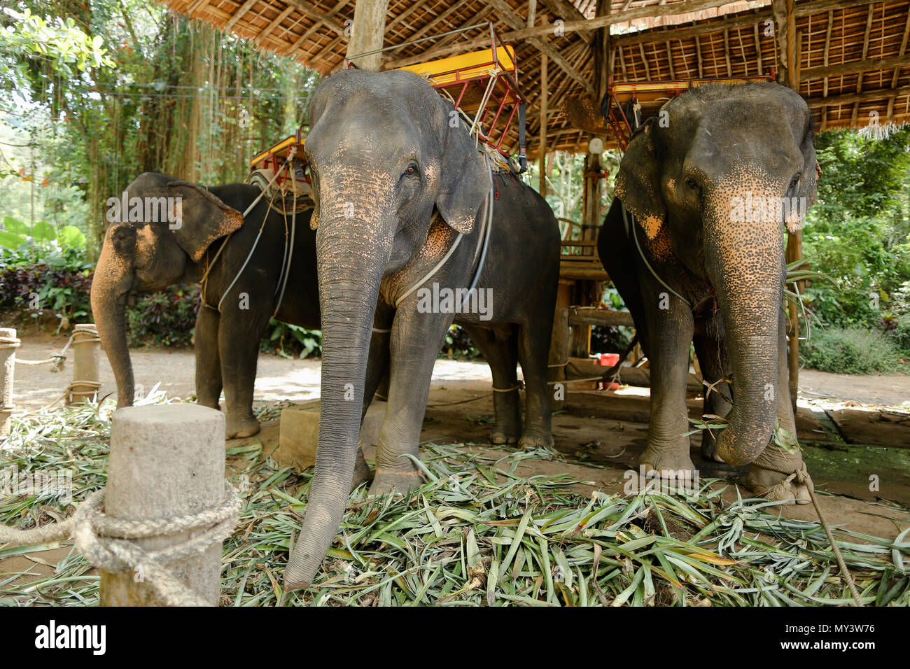 Tamed and tied elephants standing with saddle. - Stock Image