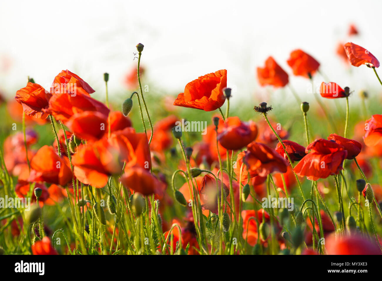 Beautiful poppies blooming in the summer field in Poland. Stock Photo