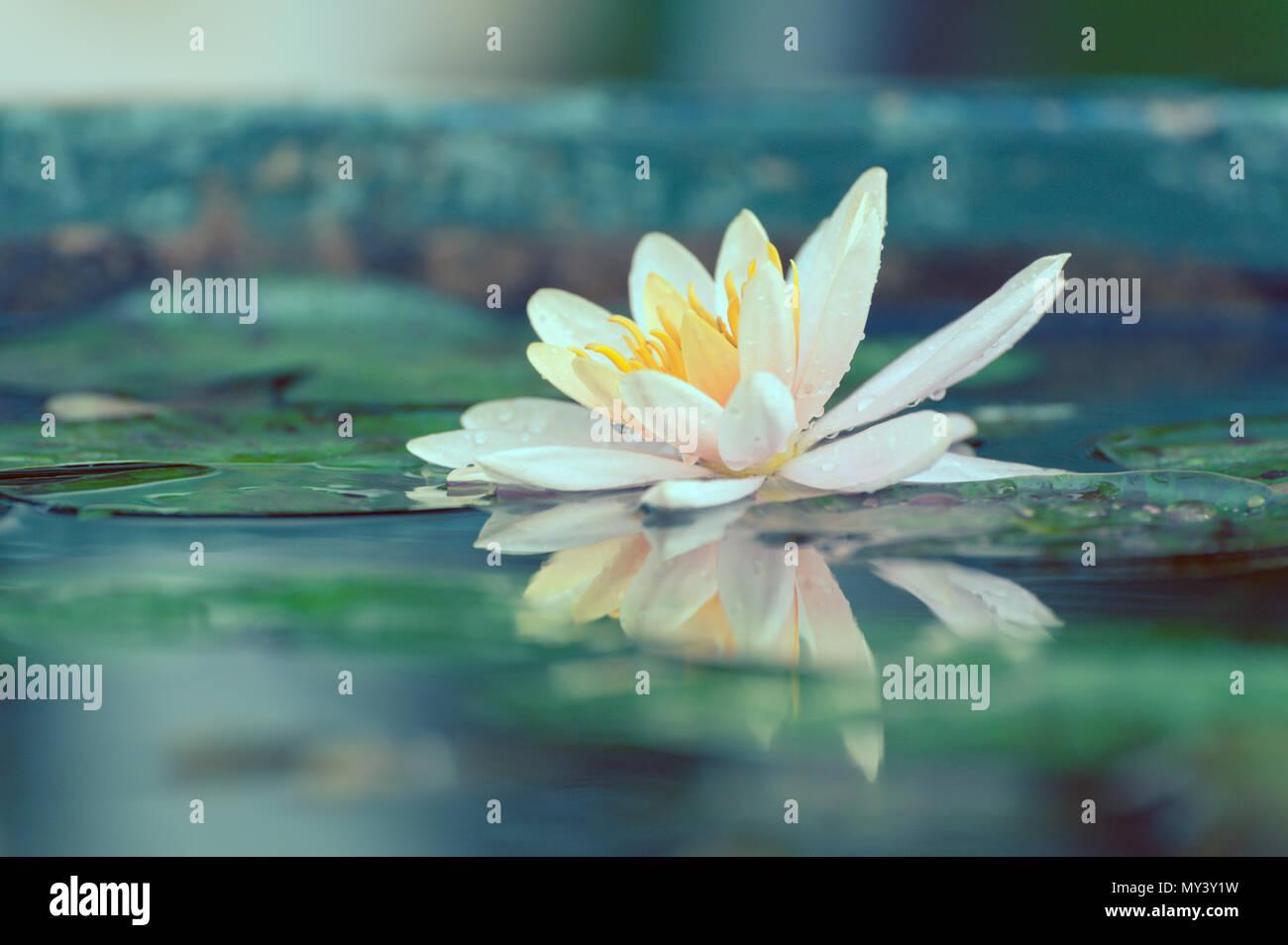 Waterlily Or Lotus Flower In A Pond With Rain Drop Pastel Or Vintage