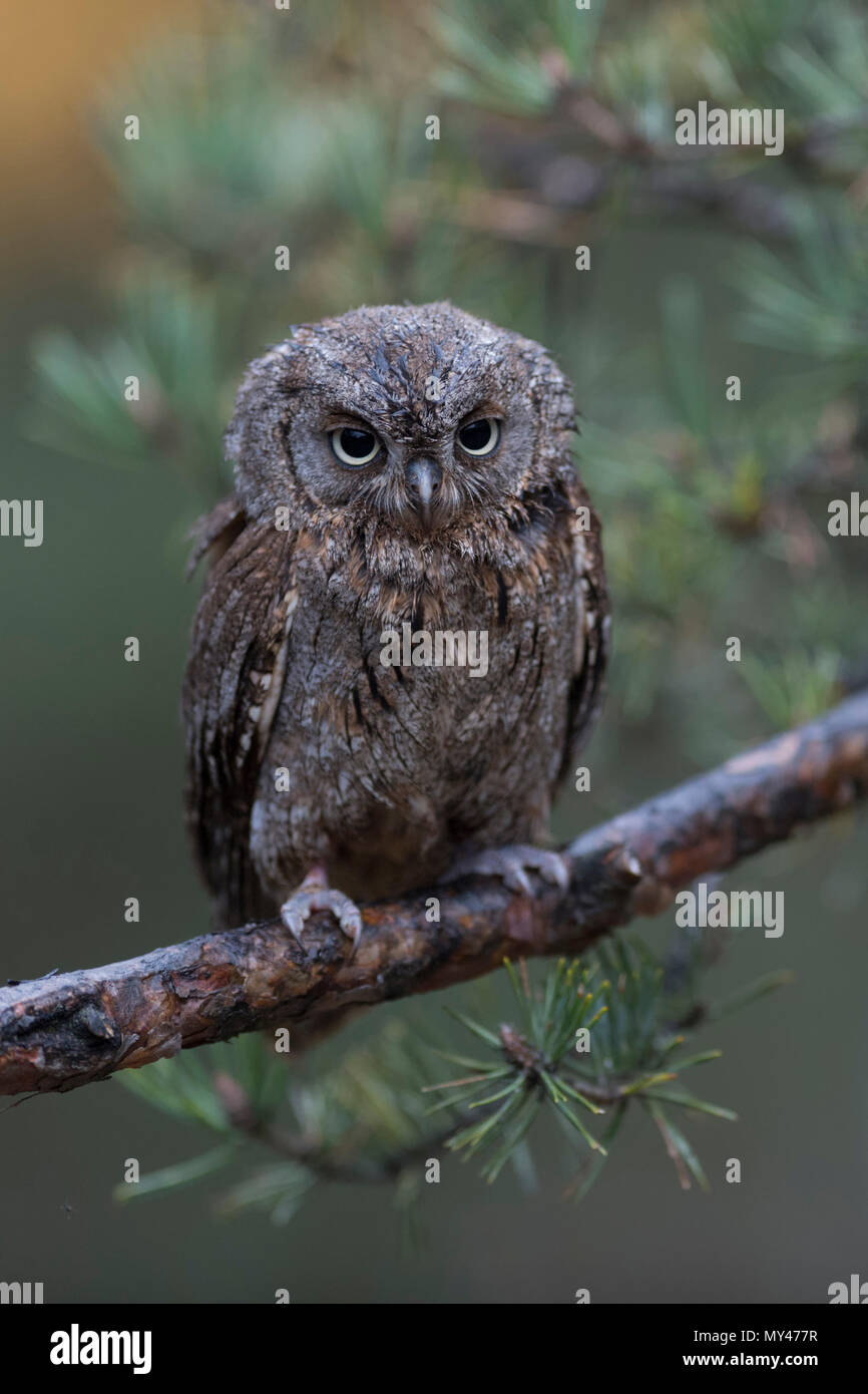 Scops Owl / Zwergohreule ( Otus scops ), perched on a branch of a pine tree, looks discontented, droll funny little bird, Europe. - Stock Image