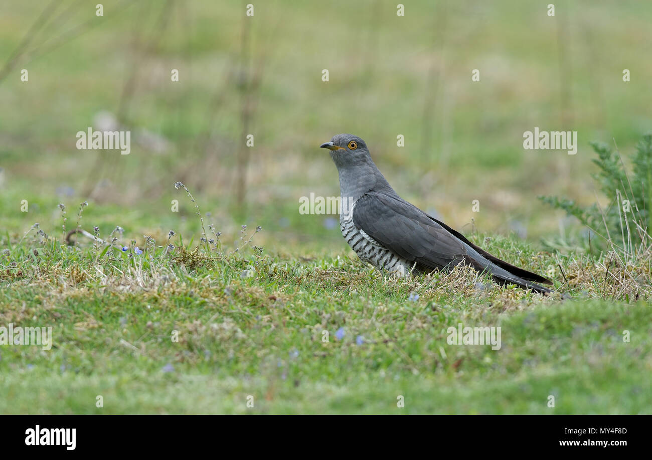 Male Cuckoo-Cuculus canorus.  Spring. Uk Stock Photo