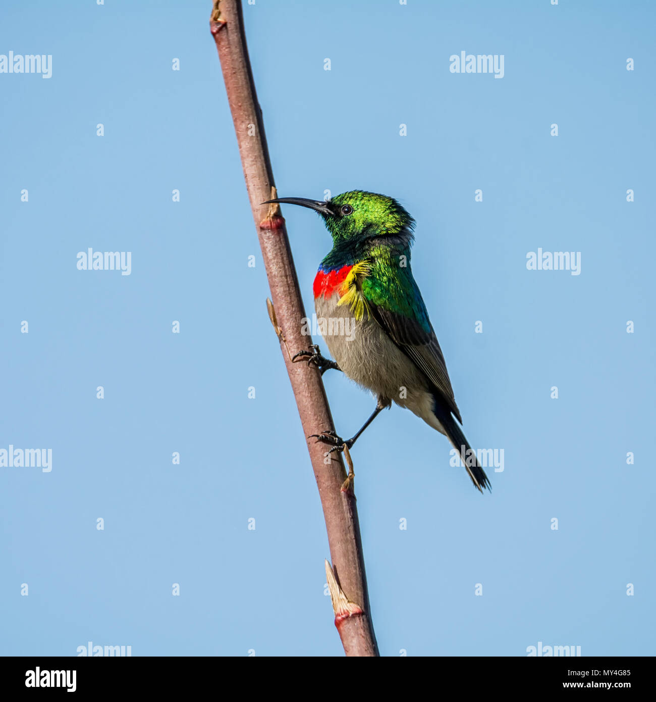 A male Double-collared Sunbird in full breeding plumage - Stock Image