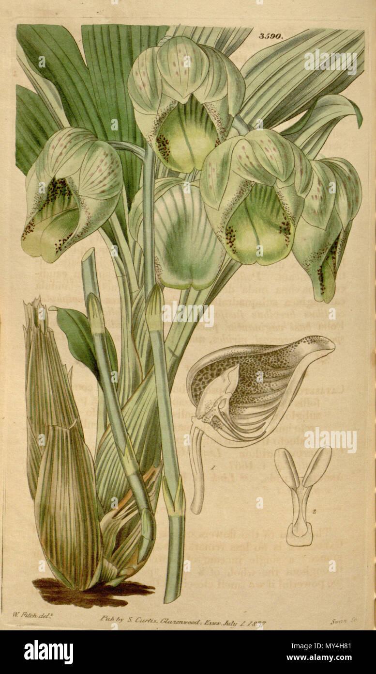 . Illustration of Catasetum luridum . 1837. Walter Hood Fitch (1817-1892) del., Swan sc. 101 Catasetum luridum - Stock Image