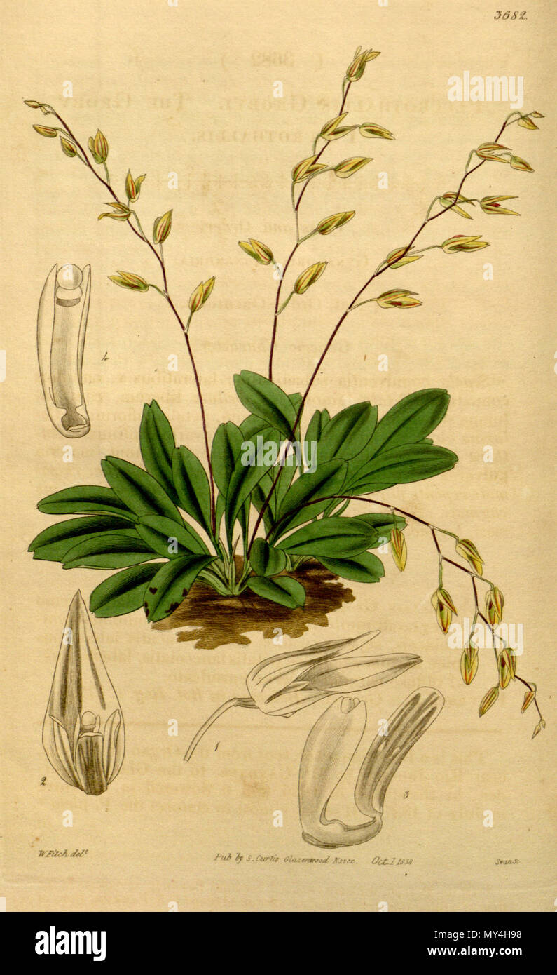 . Illustration of Pleurothallis grobyi . 1839. Walter Hood Fitch (1817-1892) del., Swan sc. 427 Pleurothallis grobyi - Stock Image