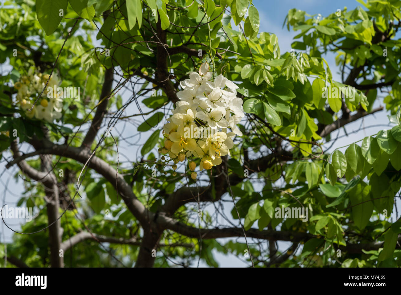 Beautiful Yellow And White Tropical Flowers On The Big Island Of