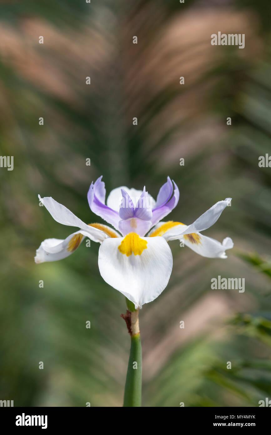 bd659579b634dd Dietes grandiflora, Large wild iris. Fairy Iris flower - Stock Image