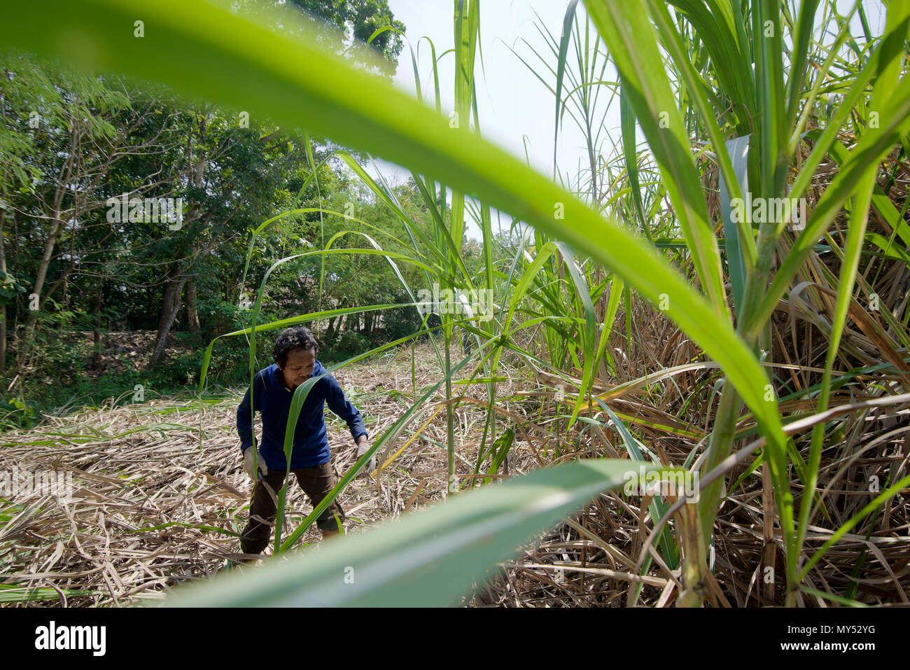 A contract worker harvesting sugarcane in Central Java, Indonesia. © Reynold Sumayku - Stock Image