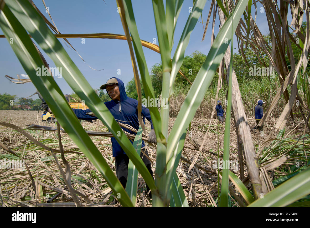 A contract worker harvesting sugarcane in Central Java, Indonesia. - Stock Image