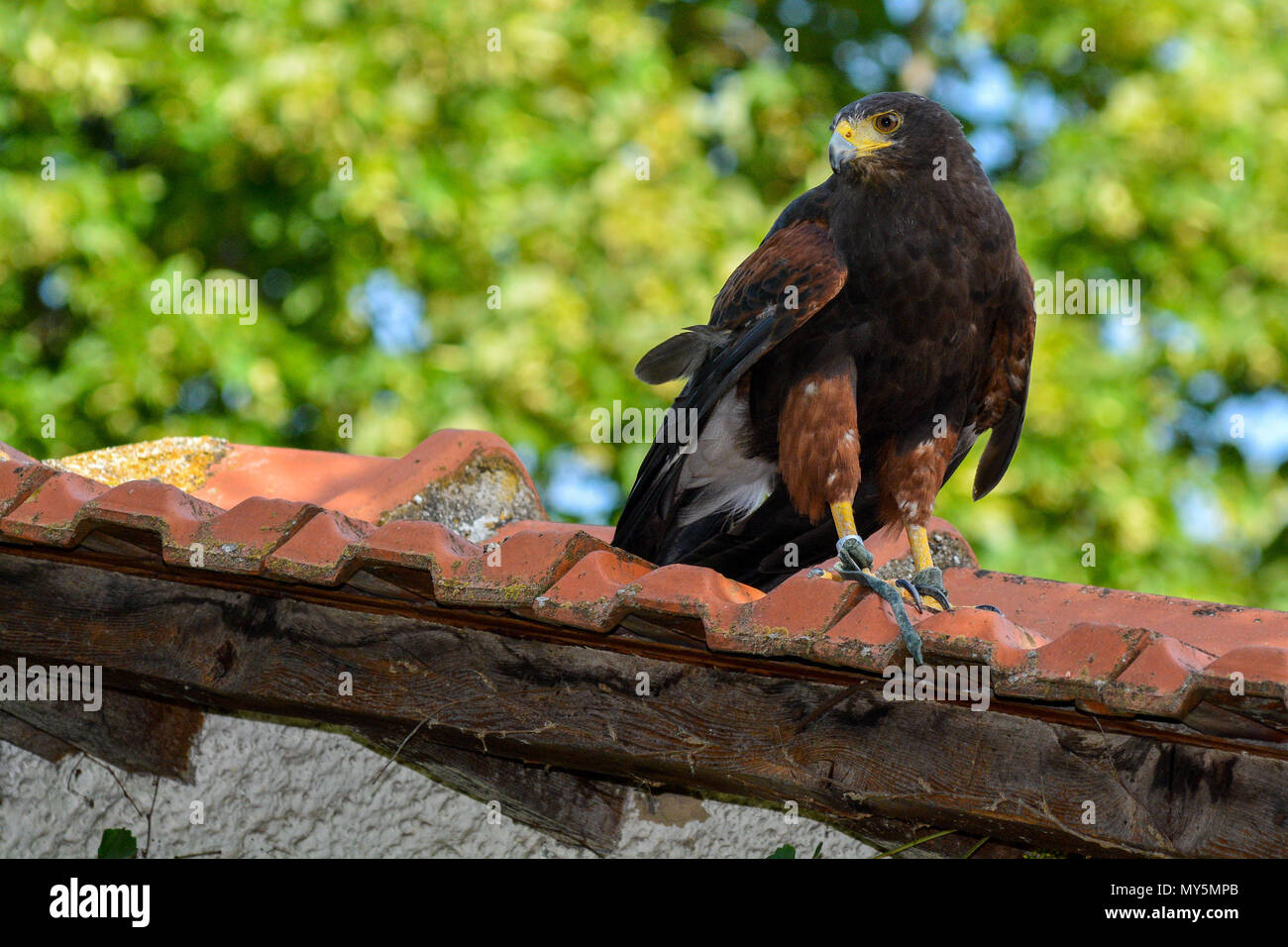 Larissa, Greece. 5th June, 2018. A Harris's hawk is seen during its training in Larissa, Greece, June 5, 2018. The Harris's hawk is particularly trained to chase away birds so that the city remains clean from bird droppings. Credit: Apostolos Domalis/Xinhua/Alamy Live News - Stock Image