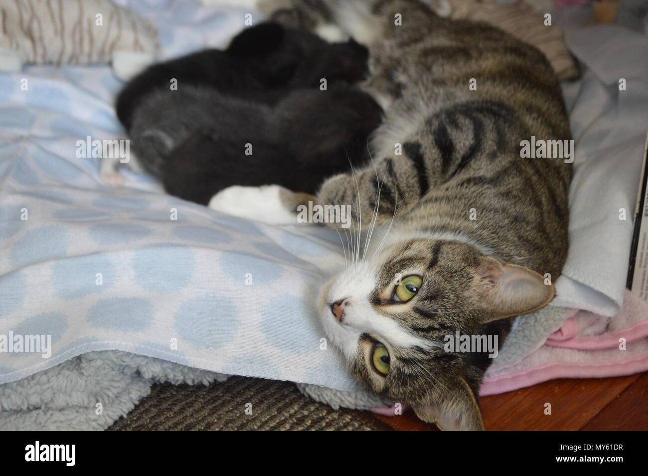 Mother cat nursing kittens - Stock Image