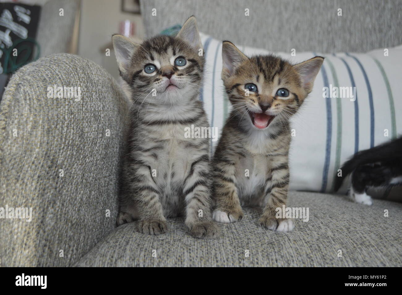 Two tabby kittens, one kitten meowing - Stock Image