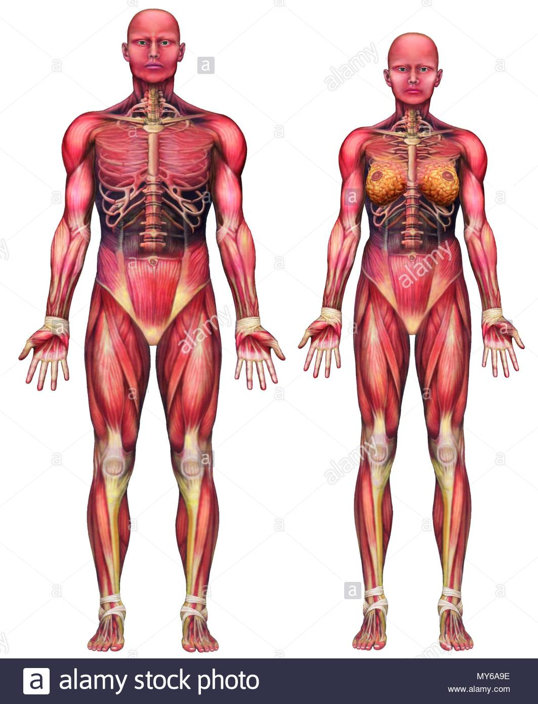 Muscle Types Stock Photos Images Alamy Diagram Showing All Of The Muscles In A Chicken Wing Bodys Man And Woman Image