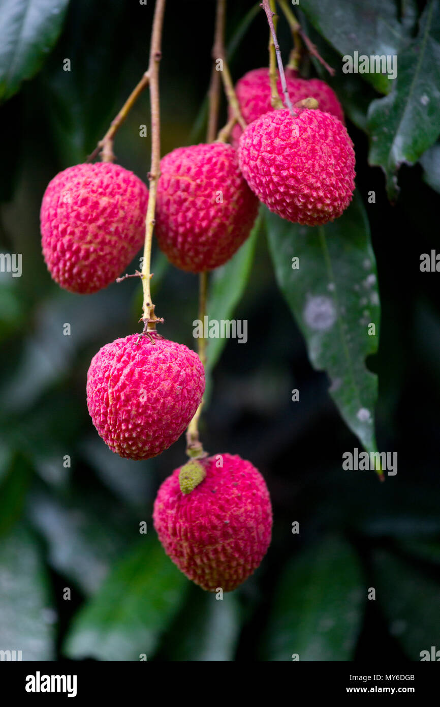 Litchi, Lichee, Lichie Leechee, Lichi, Bangla: Lichu. The Lychee is a fresh small fruit having whitish pulp with fragrant flavor. The fruit is covered Stock Photo