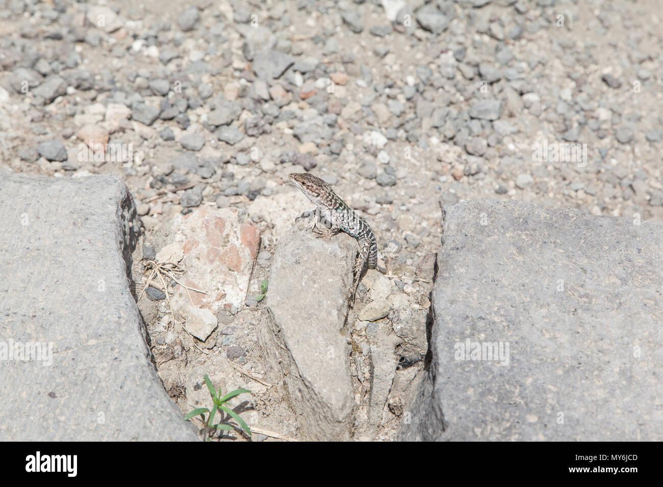 Eidechse nimmt Sonnenbad in Pompeji - Stock Image