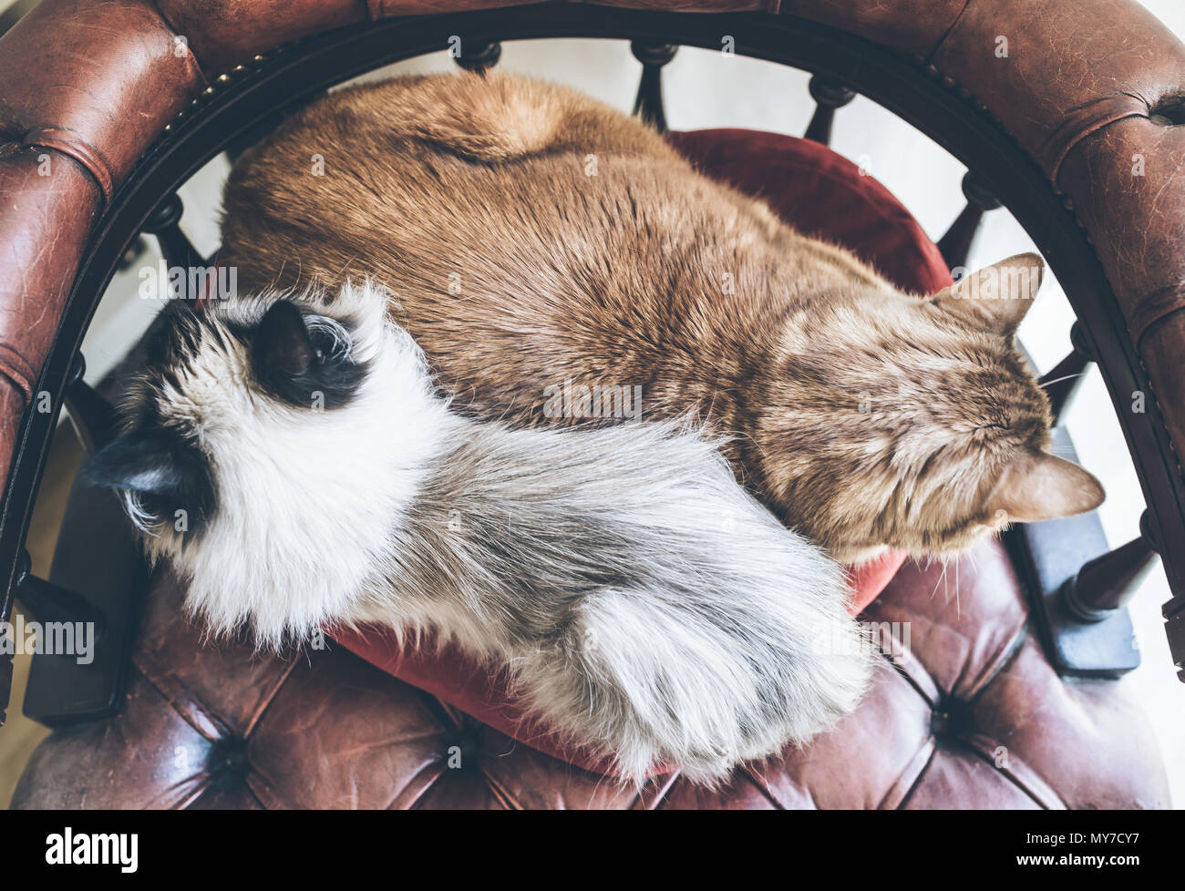 directly above shot of two domestic cats side by side resting on red armchair - Stock Image
