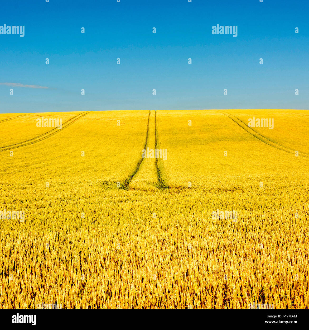Tire tracks in the middle of a field of corn, Puy de Dome department, Auvergne Rhone Alpes, France - Stock Image