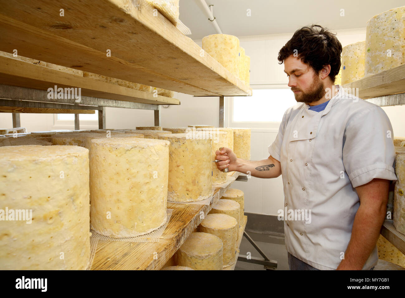 Cheese maker inspecting stilton cheese wheel by using a corer to check blue mould forming inside - Stock Image