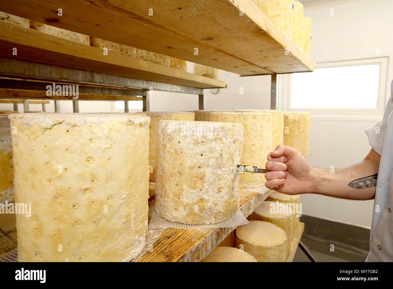 Cheese maker inspecting stilton cheese wheel by using a corer to check blue mould forming inside, close up of hand - Stock Image