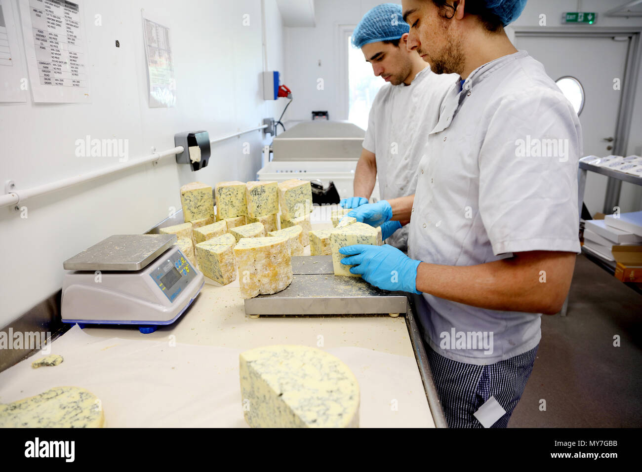 Cheese makers cutting blocks of blue stilton to package and send off to wholesalers - Stock Image